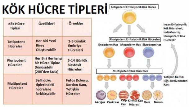 kök hücre tipleri
