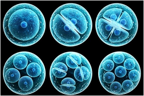 öncü kök hücre