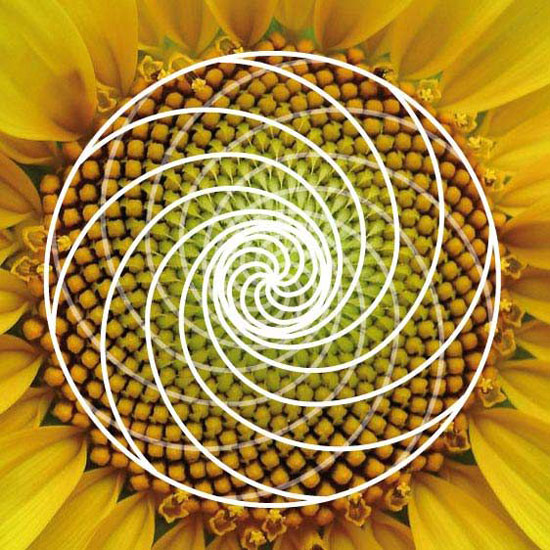 ayçiçeği altın oran