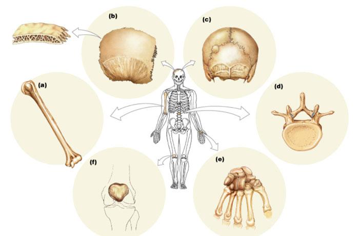 Kemik türleri, Kemikler kaça ayrılır? iskelet