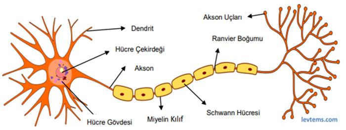 Nöron nedir yapısı