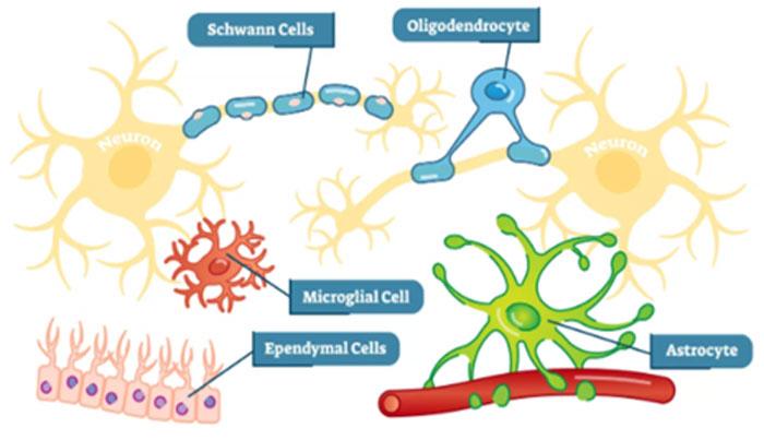 sinir sistemi glia nedir?