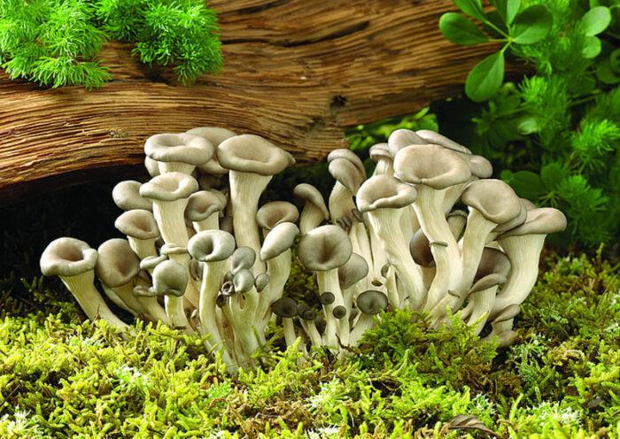 istiridye mantarı nedir? nasıl üretilir?